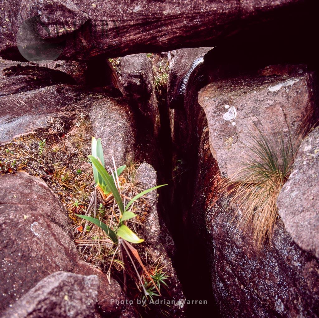Rock crevice with Stegolepis, summit of Roraima, Tepuis, Canaima National Park, Venezuela