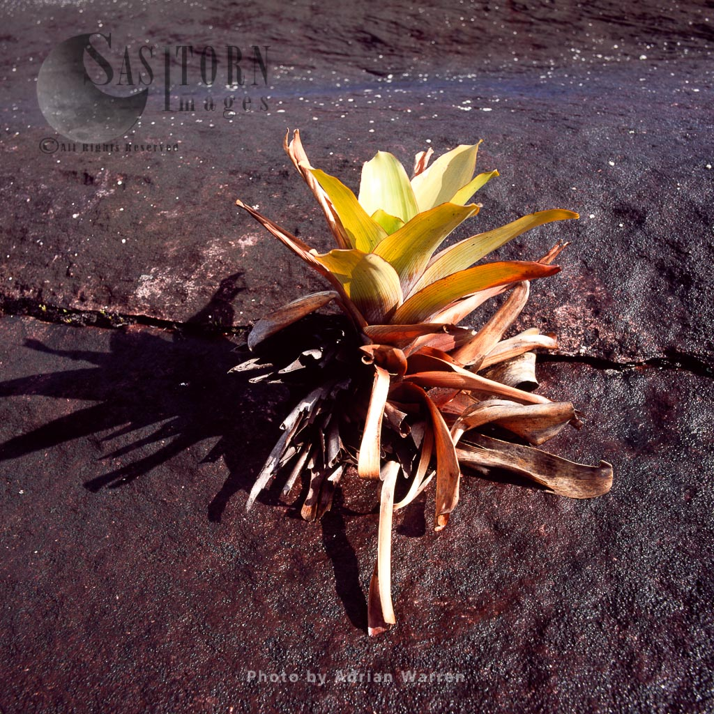 Brocchinia tatei, Roraima summit, Tepuis, Canaima National Park, Estado Bolivar, Venezuela