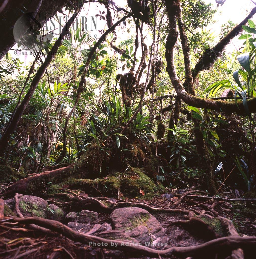 Forest near base of wall of Mount Roraima, Canaima National Park, Venezuela