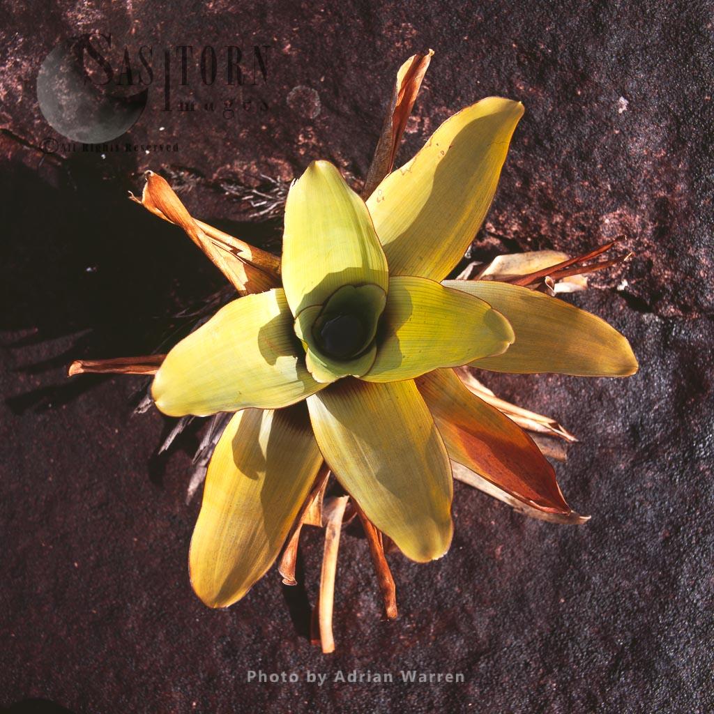 Brocchinia tatei, Mount Roraima summit, Tepuis, Canaima National Park, Venezuela