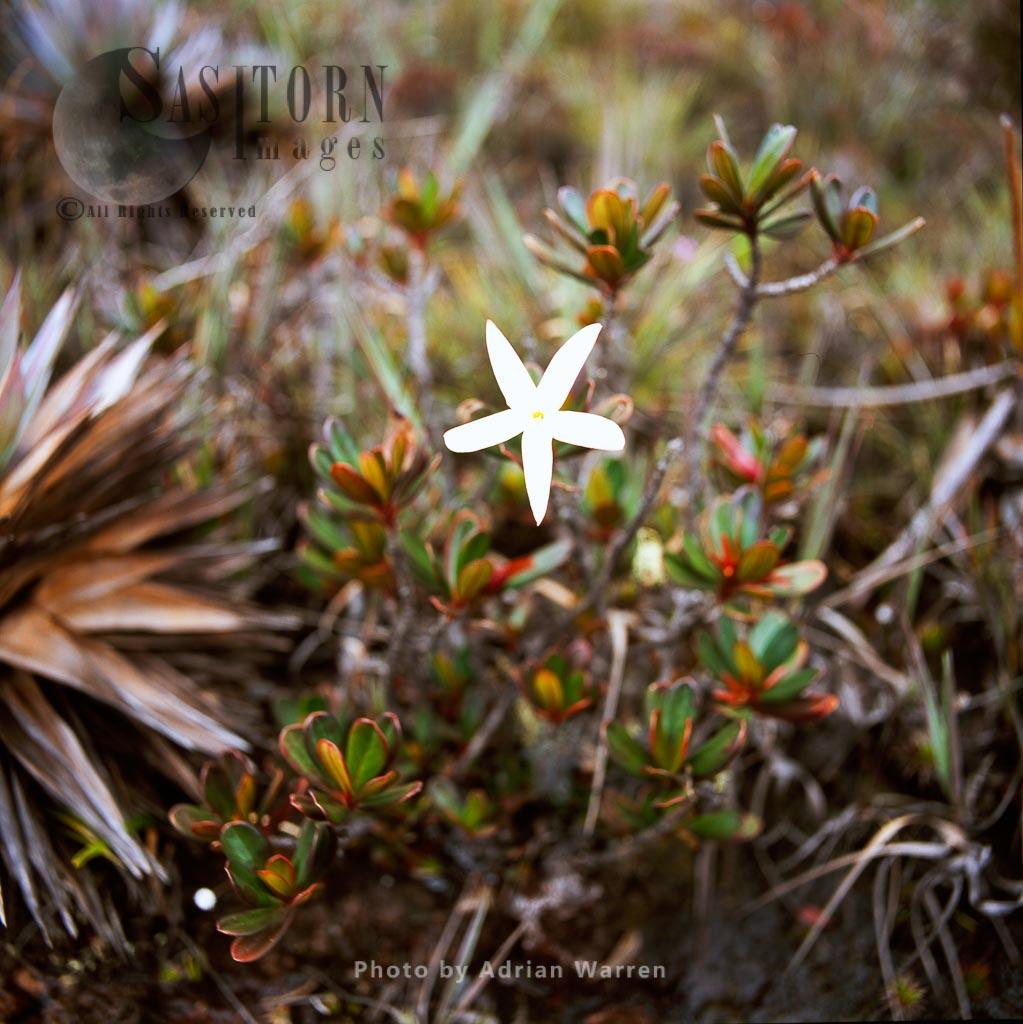 Maguireothamnus speciosus (Rubiaceae), Kukenan summit, Tepuis, Canaima National Park,  Venezuela