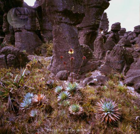 Orectanthe Sceptrum On Kukenan Summit Near Green Lagoon, Tepuis, Canaima National Park, Venezuela