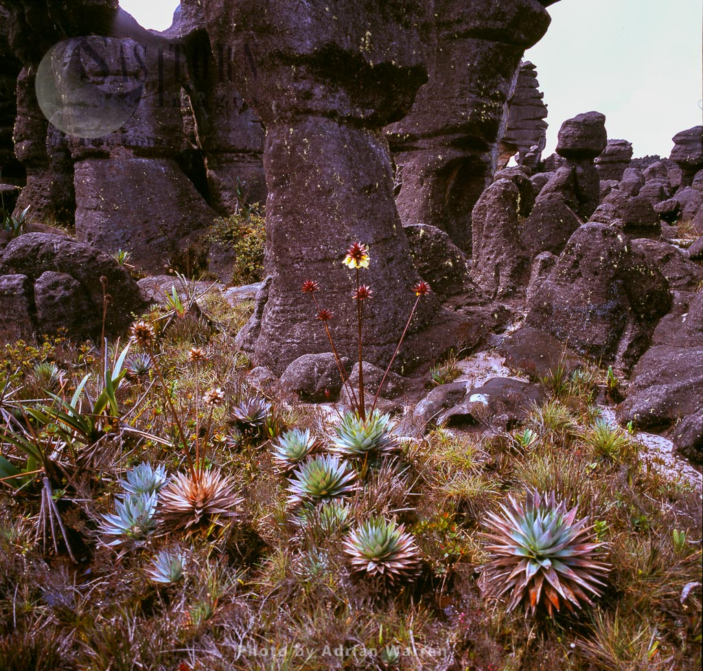 Orectanthe sceptrum on Kukenan summit near green lagoon, Tepuis, Canaima National Park, Venezuela