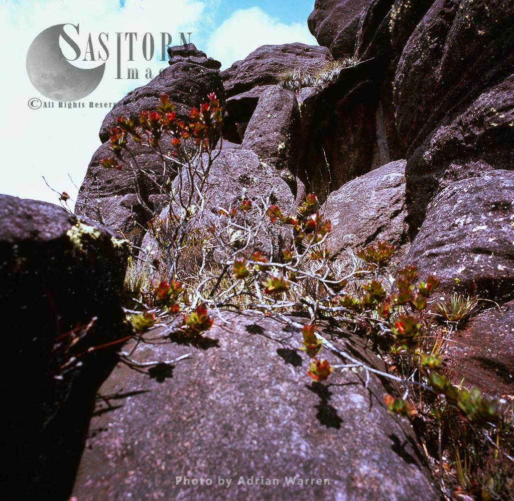Thibaudia ulei (Ericaceae), Kukenan summit, Tepuis, Canaima National Park,  Venezuela
