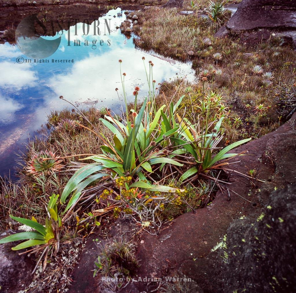 Stegolepis on Kukenan summit near green lagoon, Tepuis, Canaima National Park, Venezuela