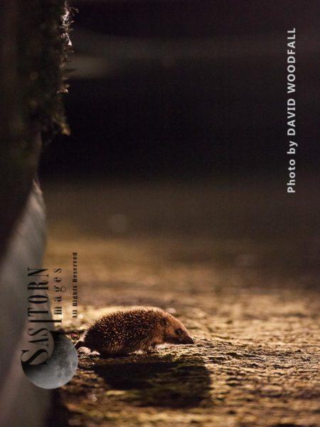 Hedgehog In Urban And Suburban Area
