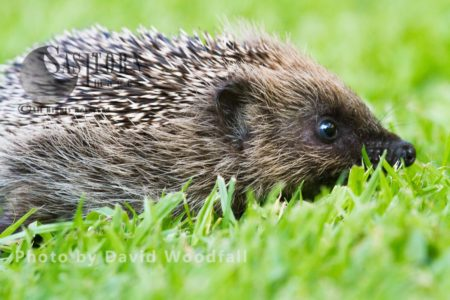 Young Hedgehog On A Lawn