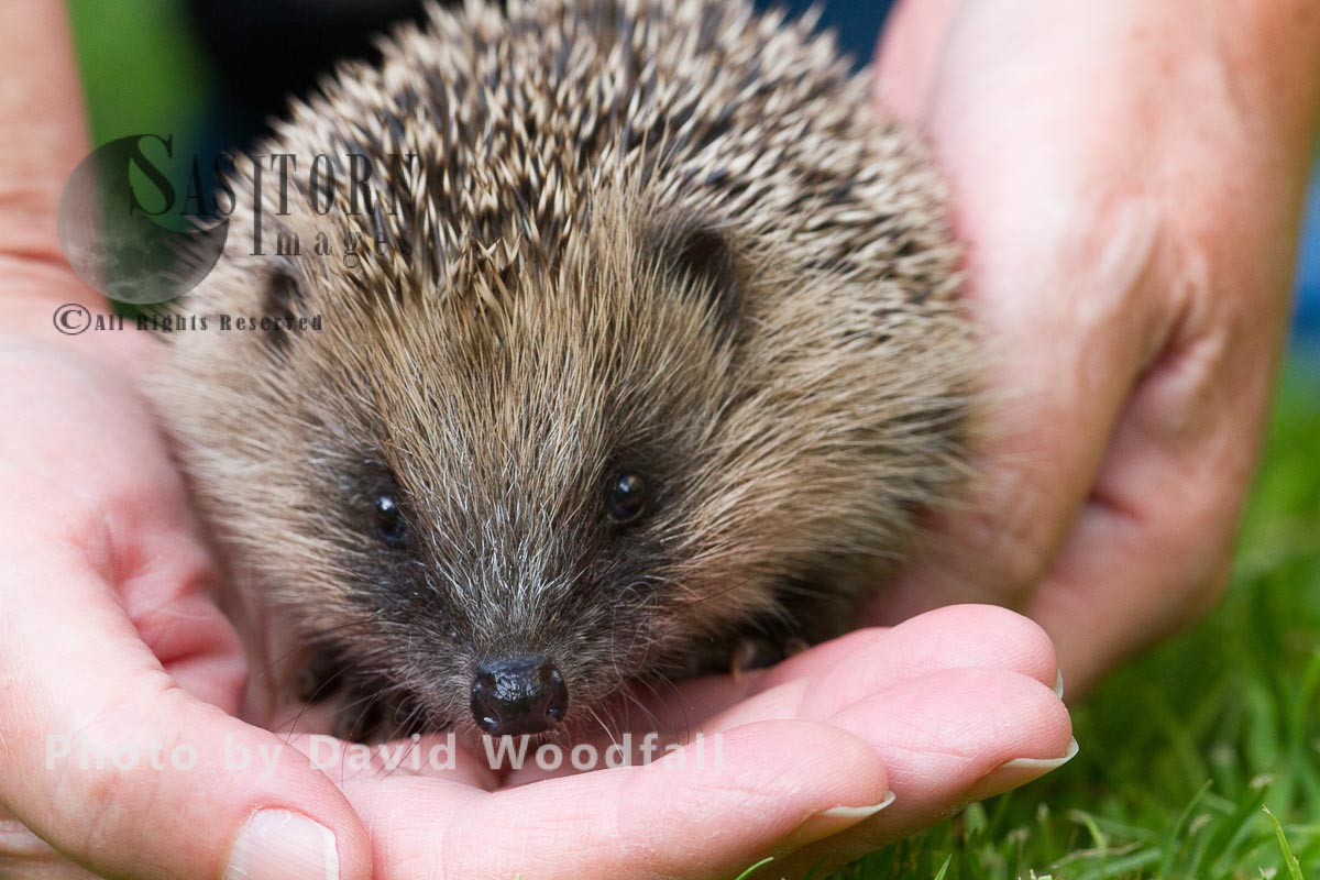 Yound hedgehog in hands about to be released into the wild
