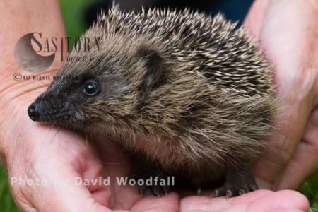 Young Hedgehog In Hands About To Be Released Into The Wild