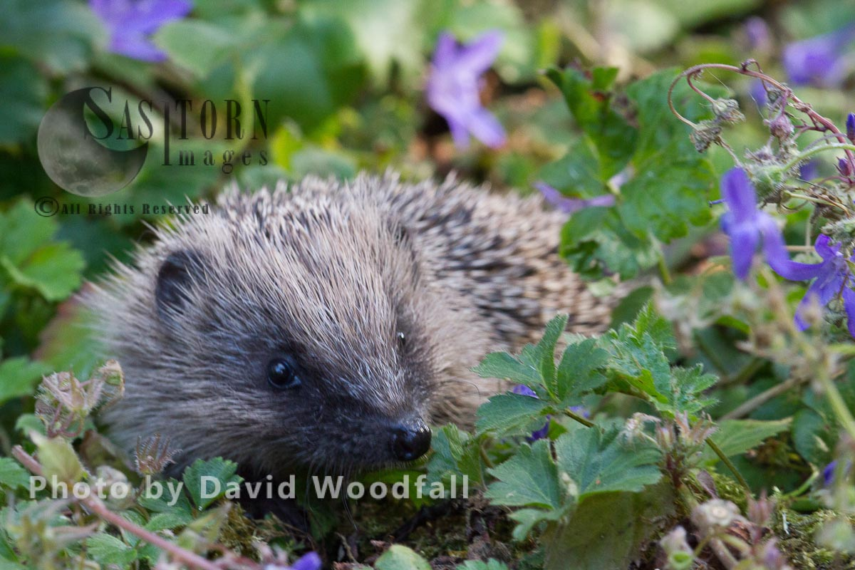 Young hedgehog in campanula flowers bed