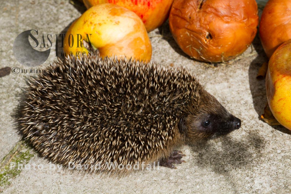 Hedgehog (Erinaceus europaeus) eating apple