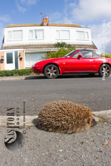 Hungry Hedgehog Looking For Food During The Day