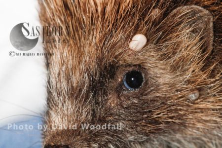Hedgehog With Tick Being Removed
