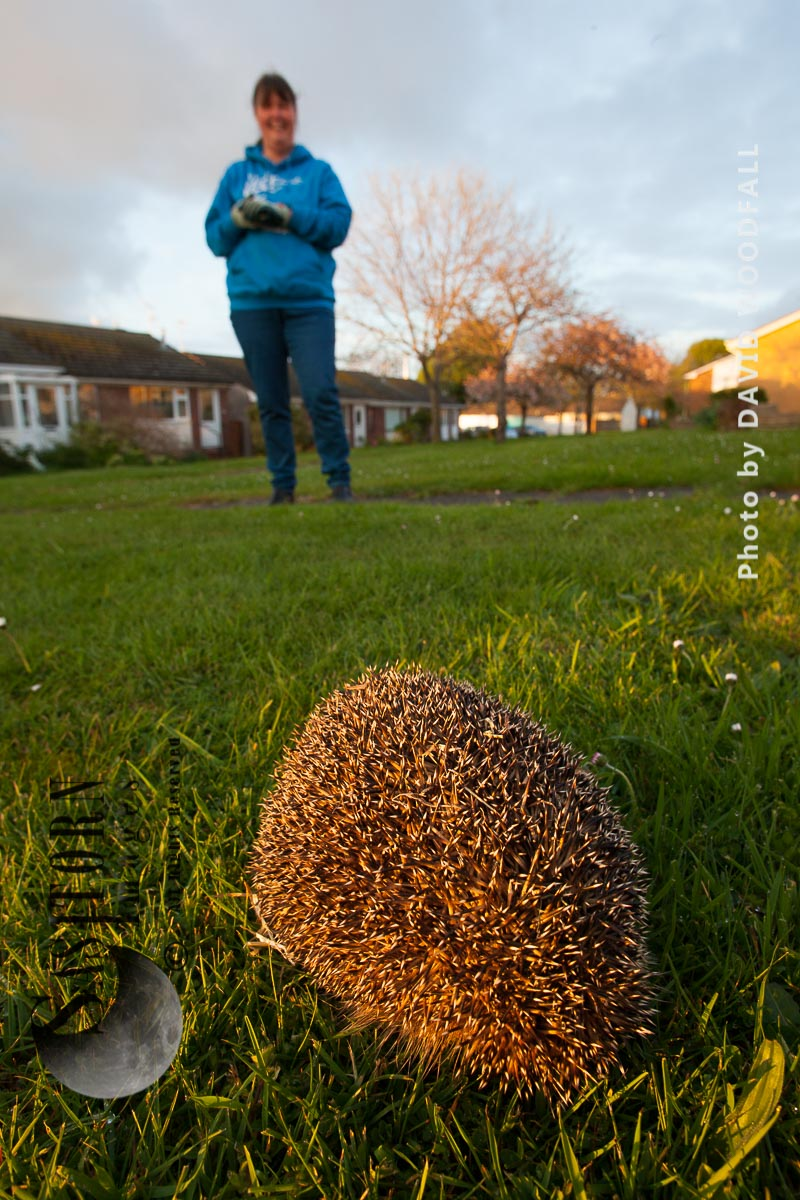Hedgehog being rescued, treated and when ready released back into the wild
