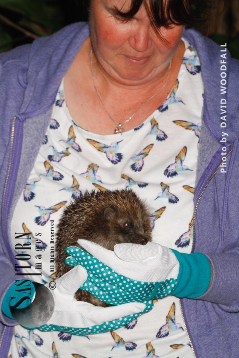 Hedgehog being held at Hedgehog centre