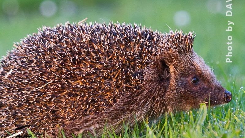 Hedgehog Being Rescued, Treated And Is Released Back Into The Wild