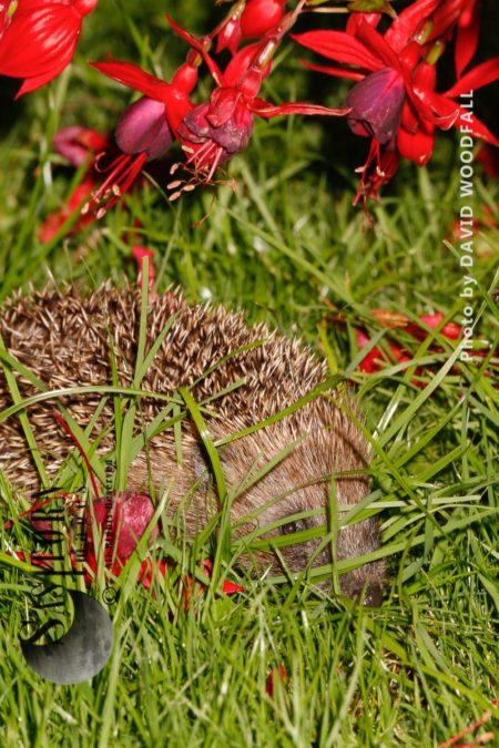 Hedgehog Under Fuchsia Bush In Garden