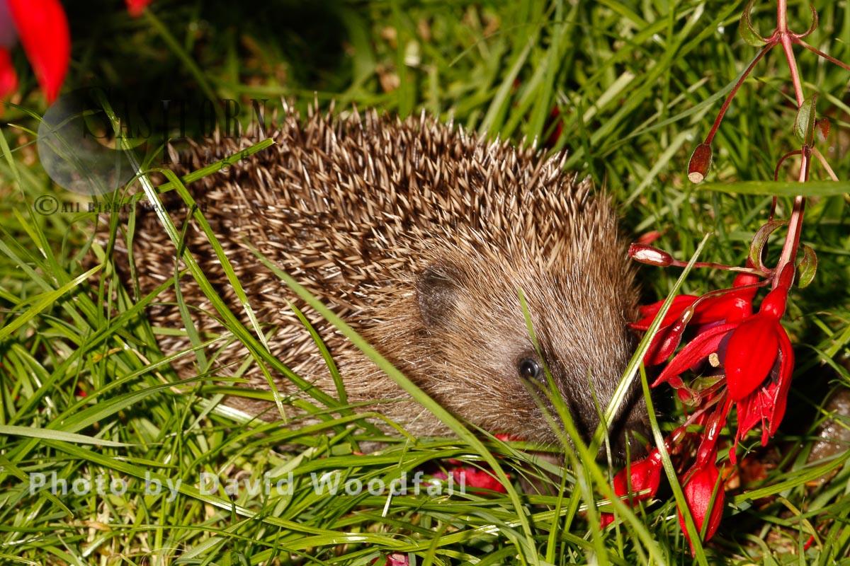 Hedgehog under Fuschia bush in garden