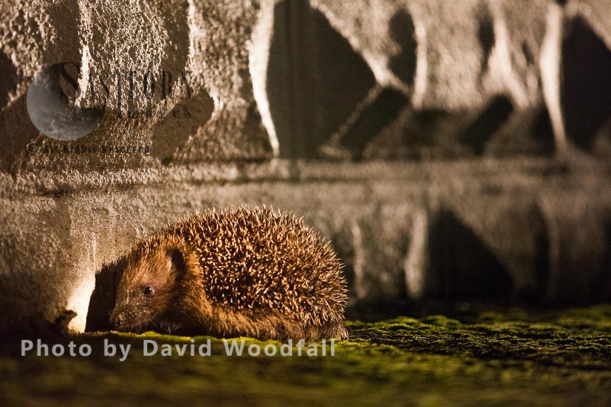 Hedgehog in urban /suburban area
