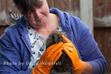 Hedgehog Being Held At  Hedgehog Help Prestatyn