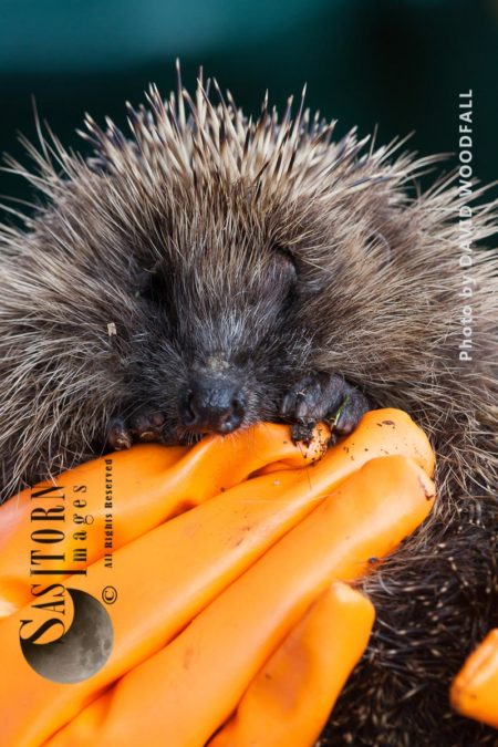 Hedgehog Being Held At  Hedgehog Help Prestatyn, Wales