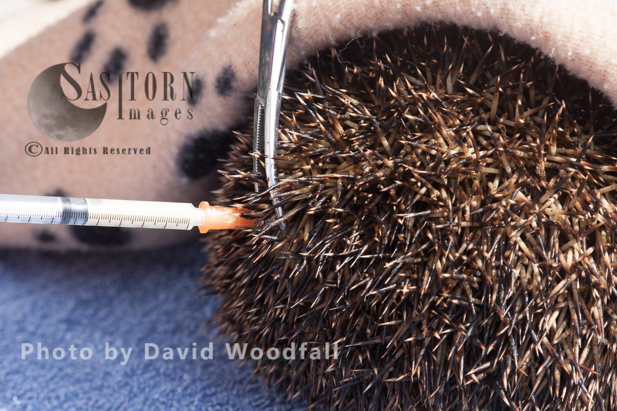 Hedgehog being treated at  Hedgehog Help Prestatyn, Wales
