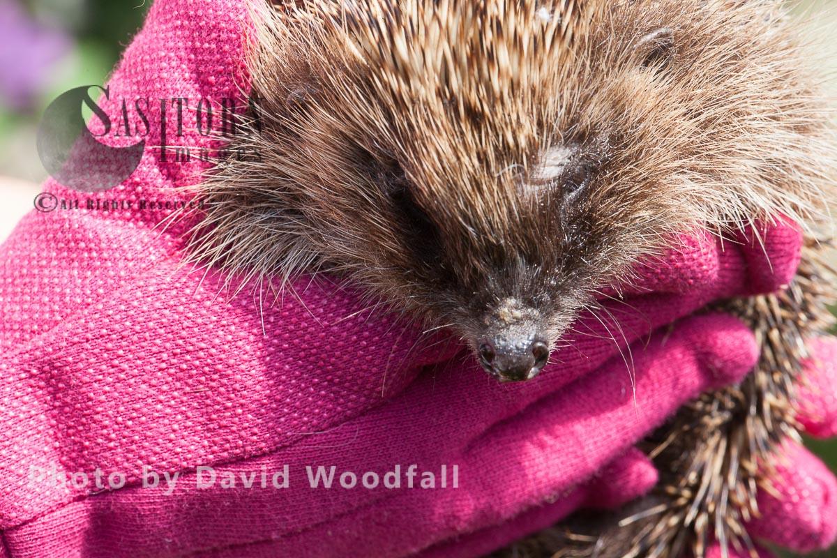 Rescued Hedgehog at Hedgehog Help Prestatyn before being released into te wild