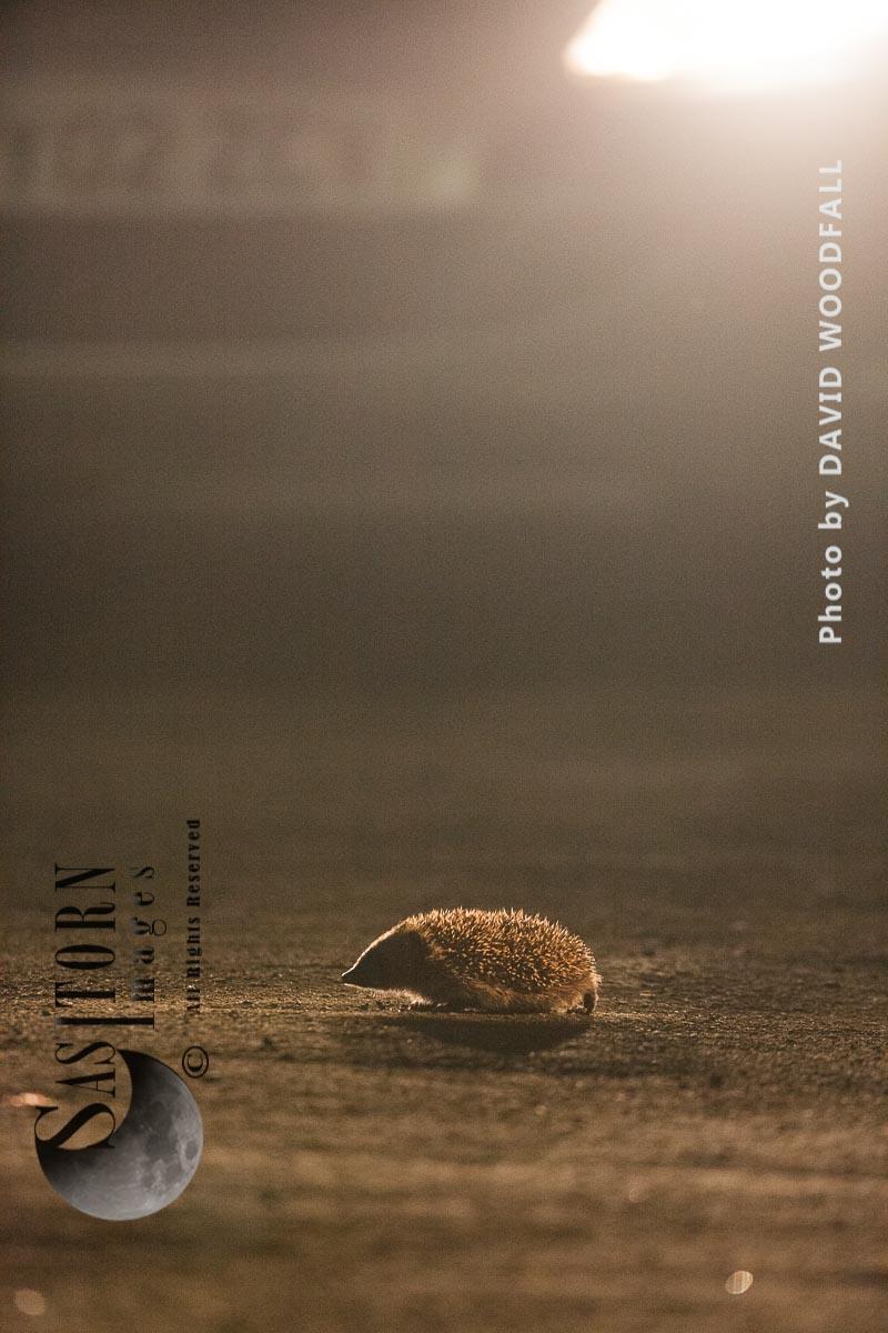 Hedgehog in suburban traffic