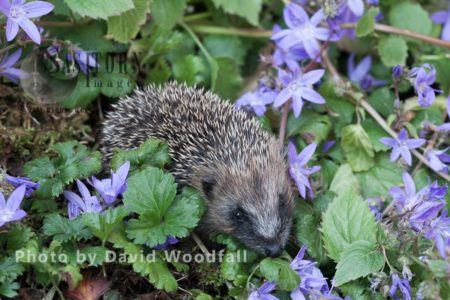 A Young Hedgehog In Campanula Flowers Bed