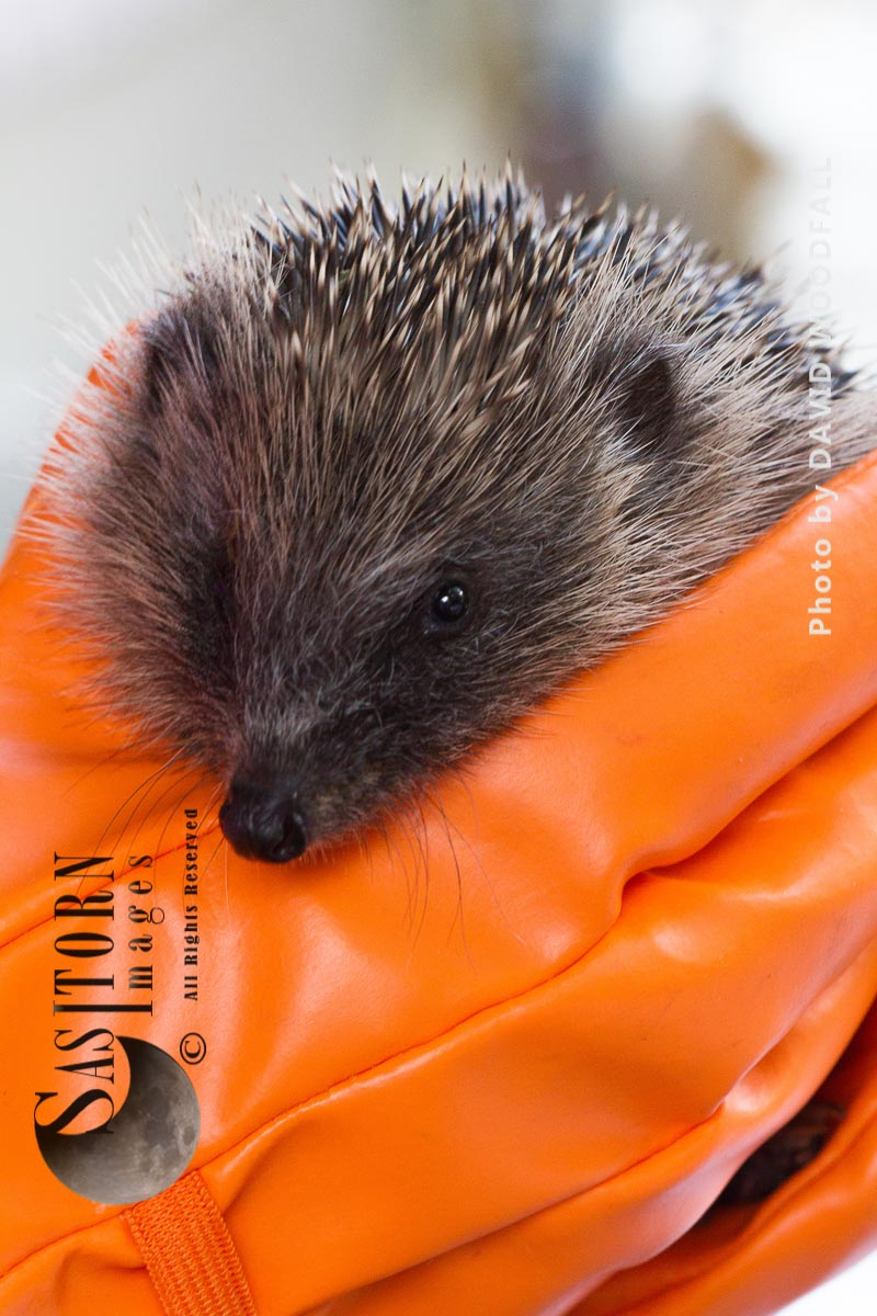 Hedgehog rescued and cared for before releasing  back to the wild
