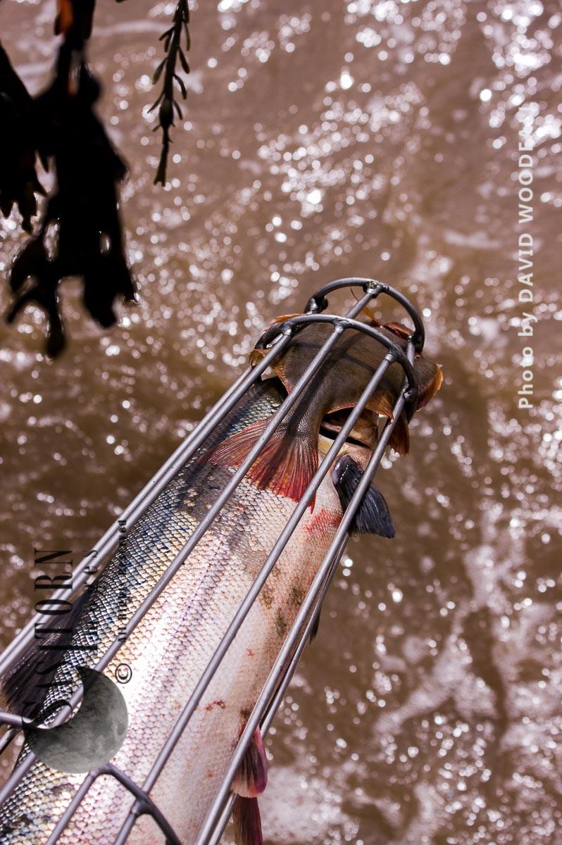 Salmon caught in Pucher Fishing basket,  on Severn Estuary