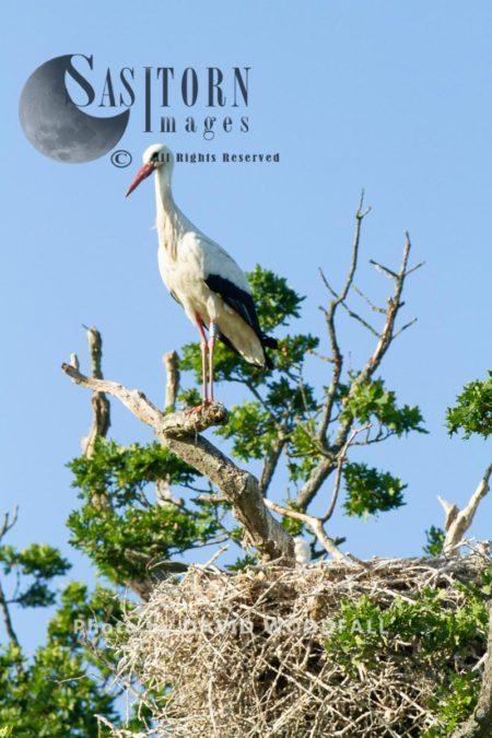 White Storks (Cicconia Cicconia) Pearching On Tree At Nest