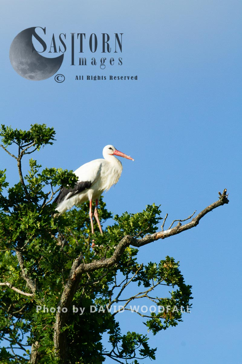 White Storks (Cicconia cicconia) pearching on tree