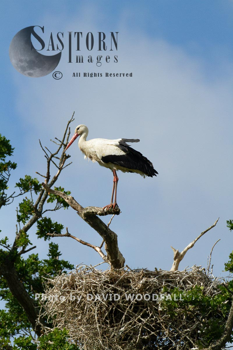 White Storks, first to nest in UK for 600 years