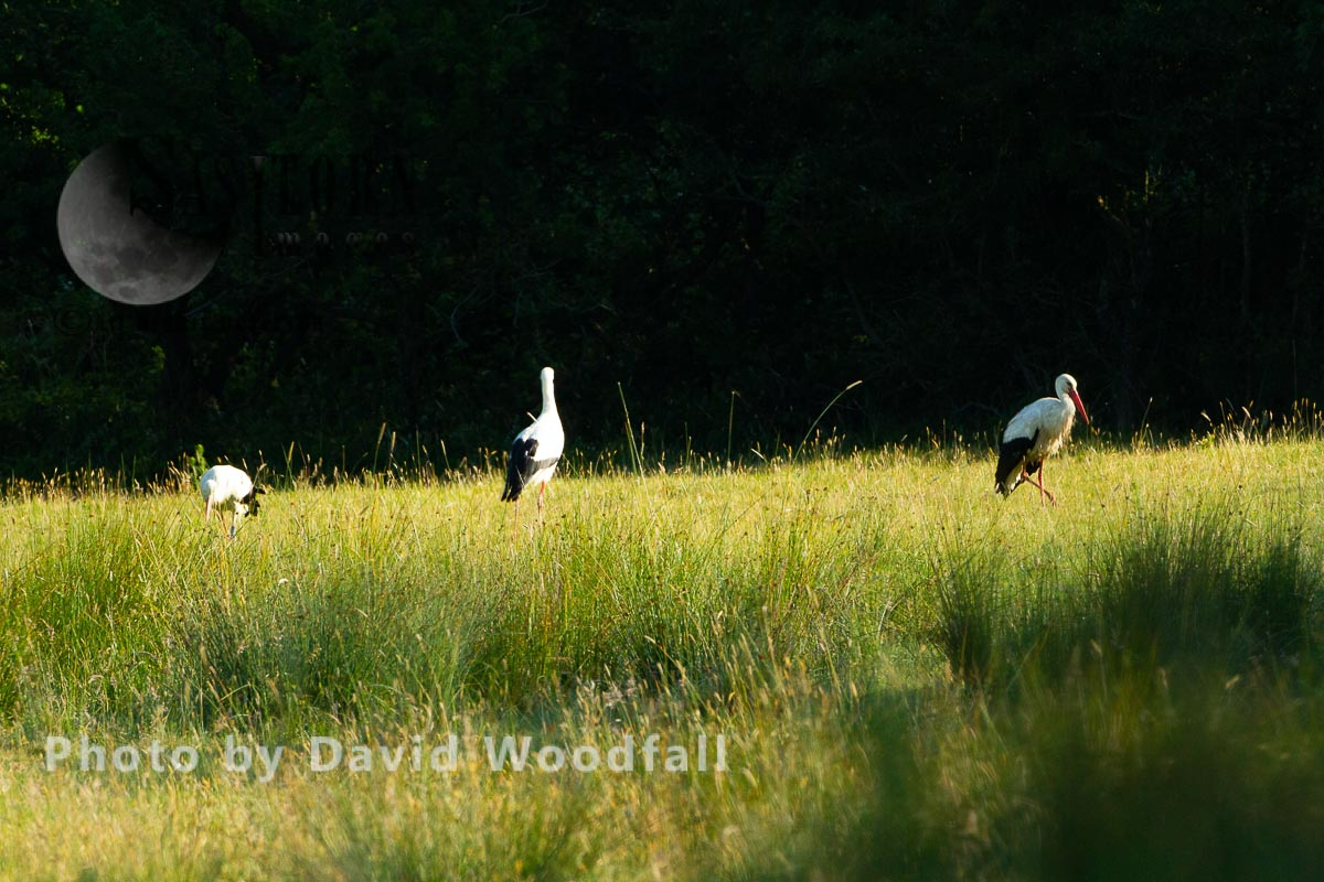 White Storks, feeding
