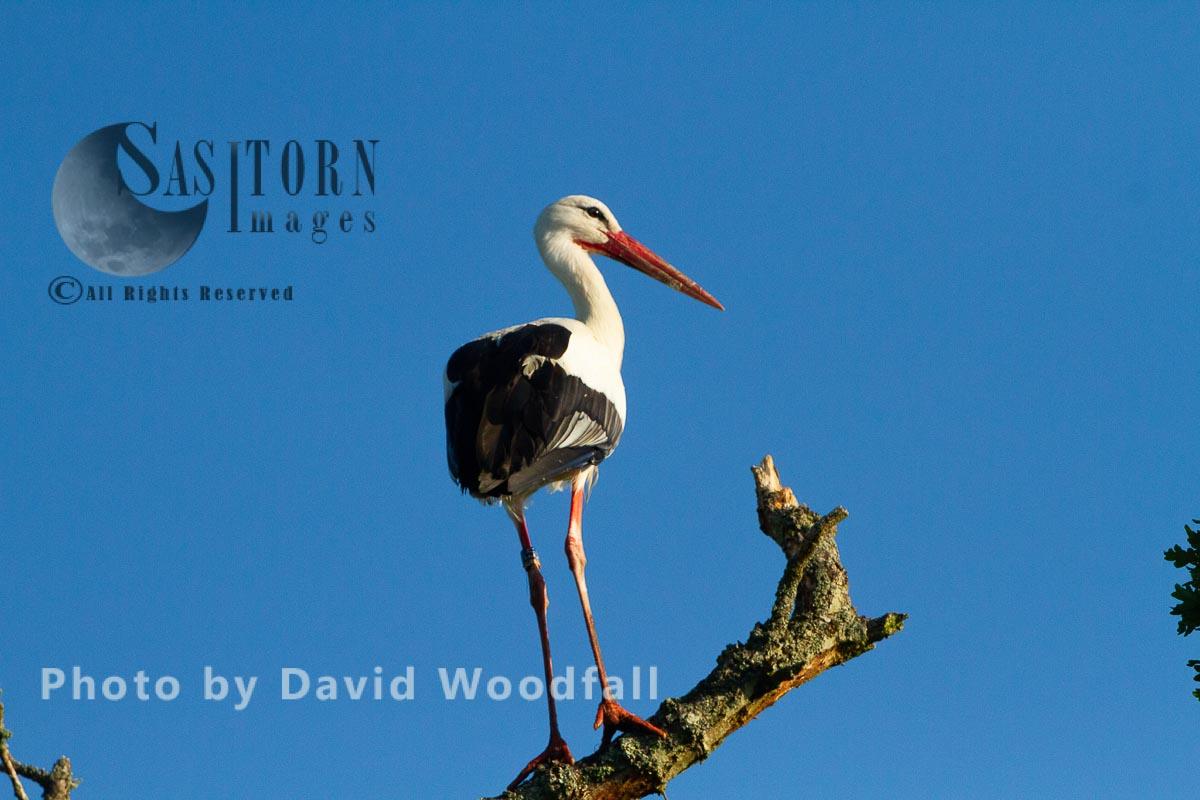 White Storks, perching on tree