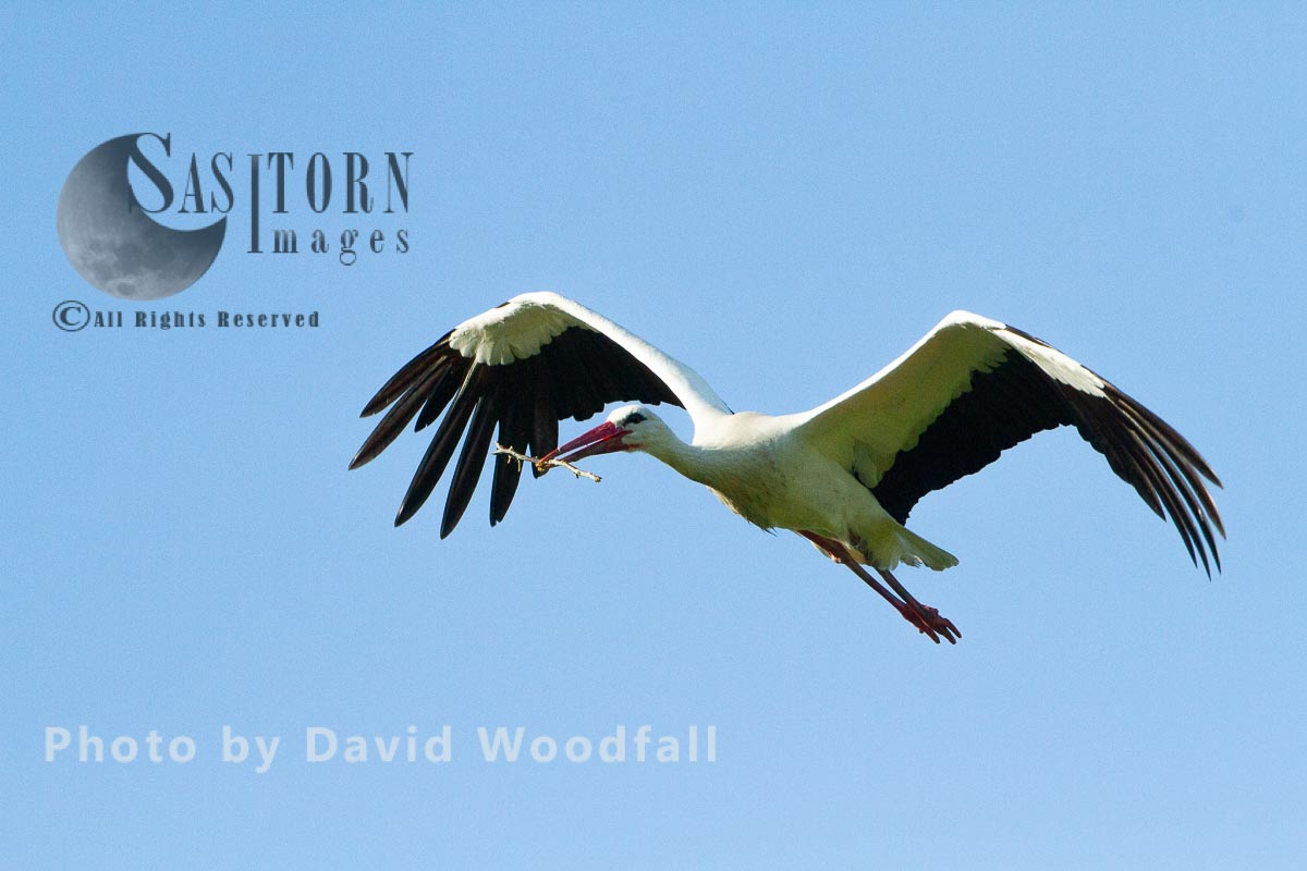 White Stork in flight carrying stick for nest building
