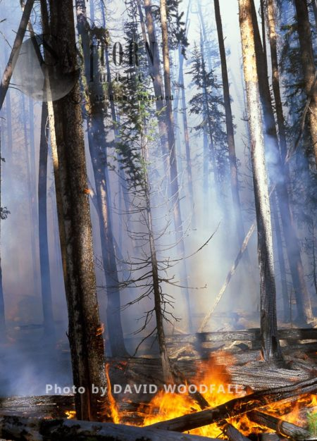 Wildfire In Lodgepole Pine Forest