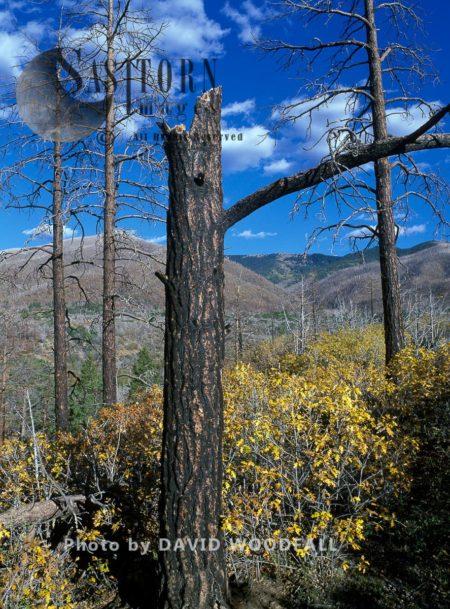 Pinyon Pine Pinus Edulis Killed By Ips Beetle