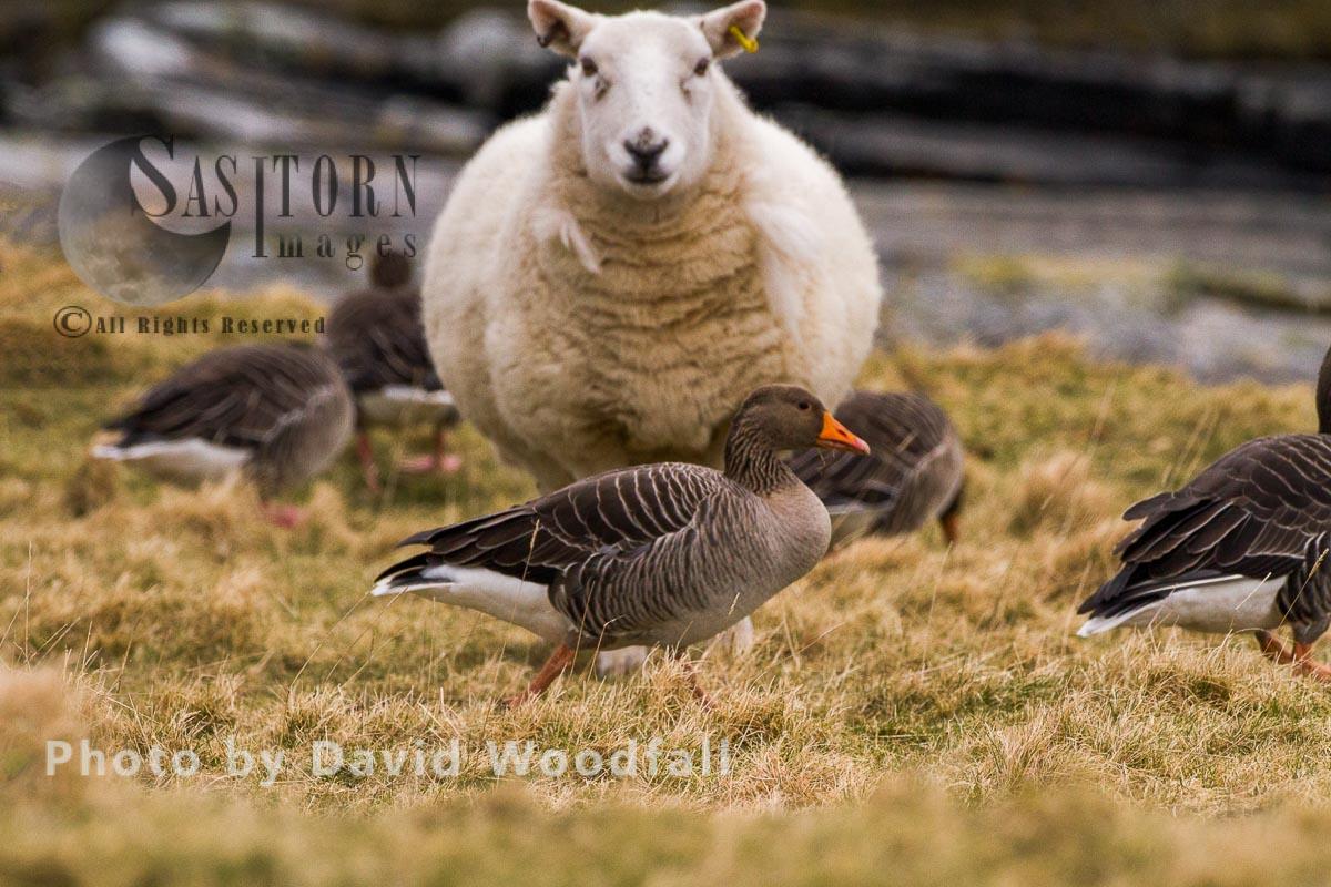 Grazing Greylag Geese and sheep on coastal grassland, Outer Hebrides, Scotland
