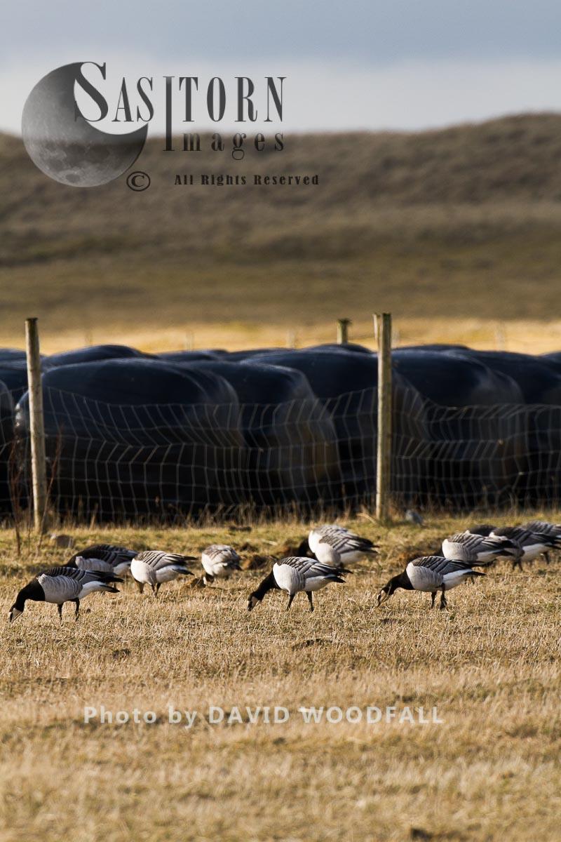 Barnacle Geese grazing stubble, on machair, Western Isles, Scotland.