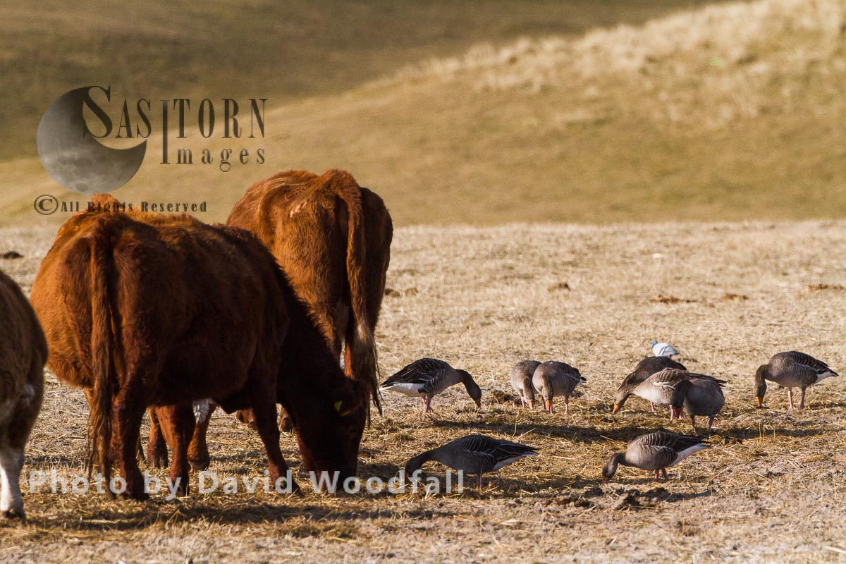 Greylag Goose grazing amongst mixed breed cattle, Westle Isles, Scotland