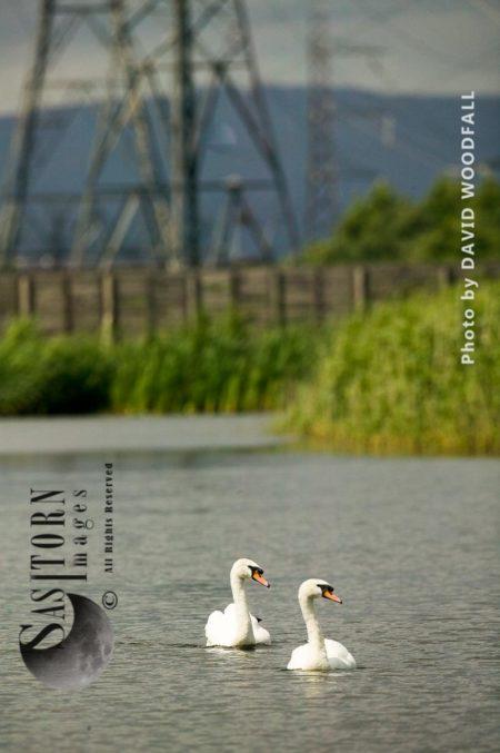 Mute Swan (Cygnus Olor) In Recreated Wetland