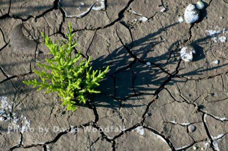 Glasswort On Mud Flats Severn Estuary