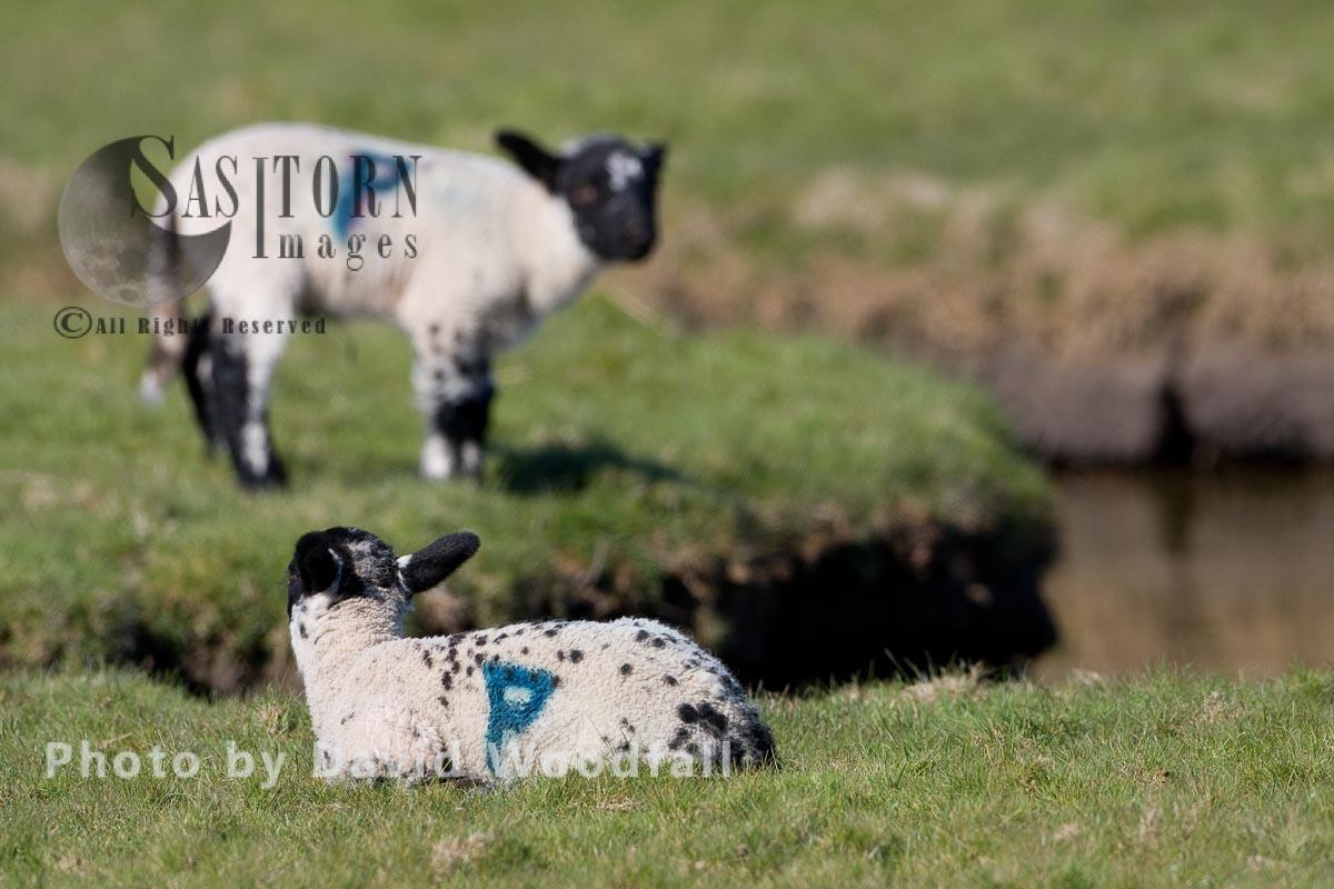Sustainable Organic Spring Lambs
