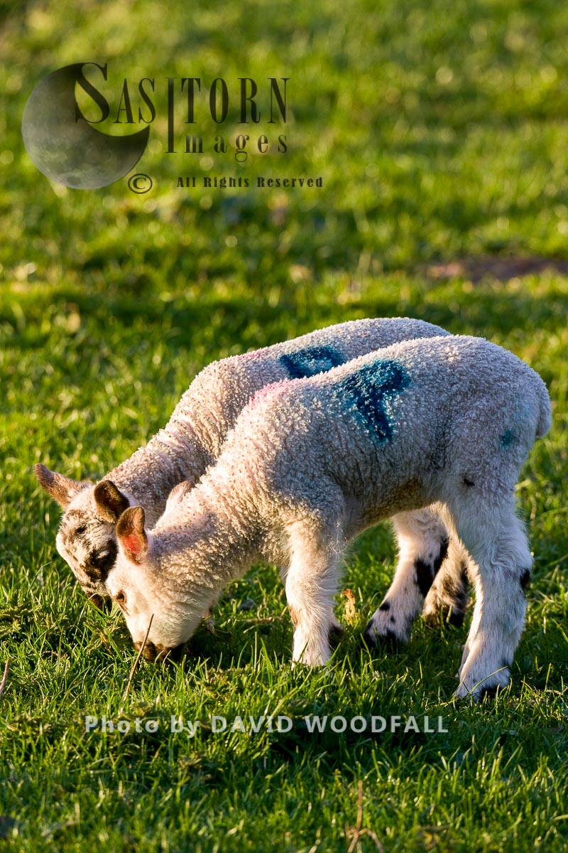 Sustainable Organic Spring Lambs