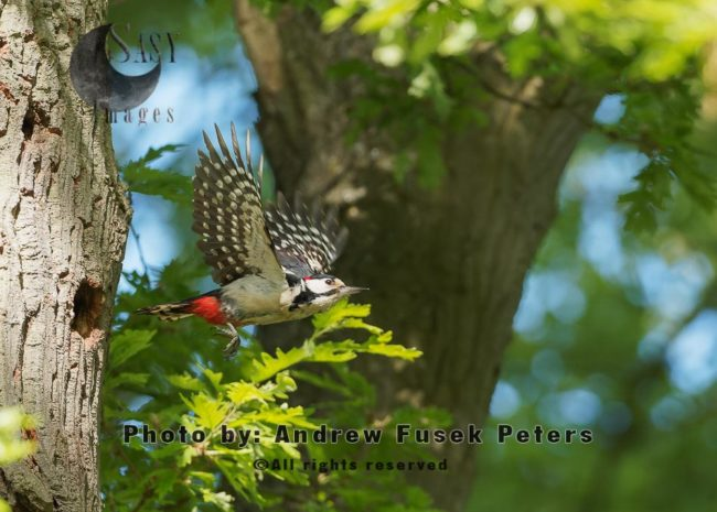 Greater Spotted Woodpecker Male Flying