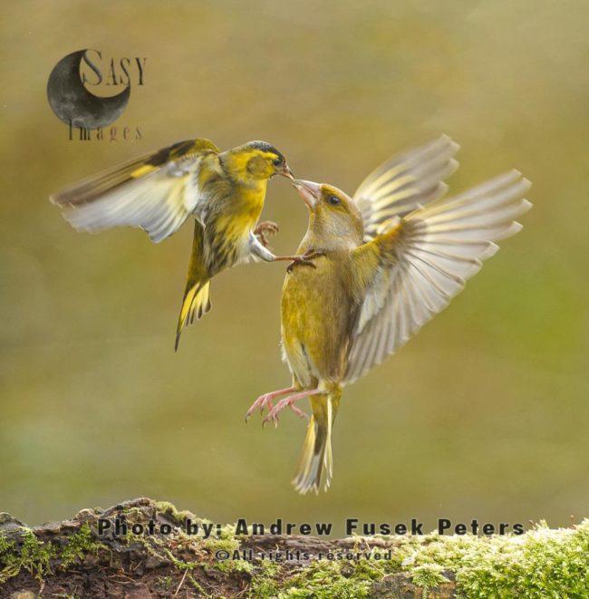 Siskin Fighting Greenfinch