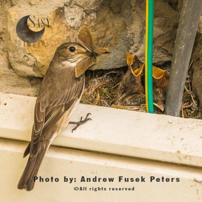 Spotted Flycatcherfeeding Chicks