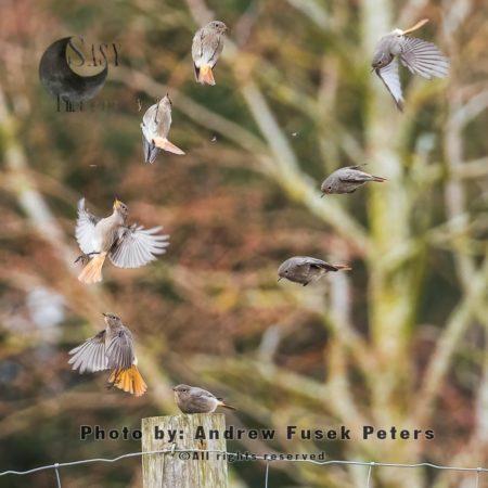 Black Redstart Flight Sequence